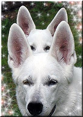 Питомник STAR WAY Белых Швейцарских Овчарок